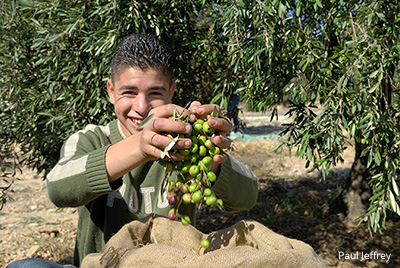 a young man harvests olives